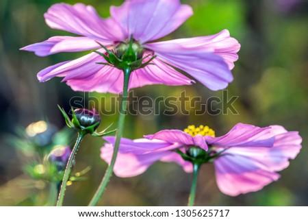 Cosmos Bipinnatus - Cosmos flower in the evening light
