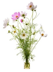 Cosmos bipinnatus (garden cosmos or Mexican aster) in a glass vessel with water