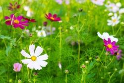 Cosmos bipinnatus, Summer multicolored flowers similar to chamomile