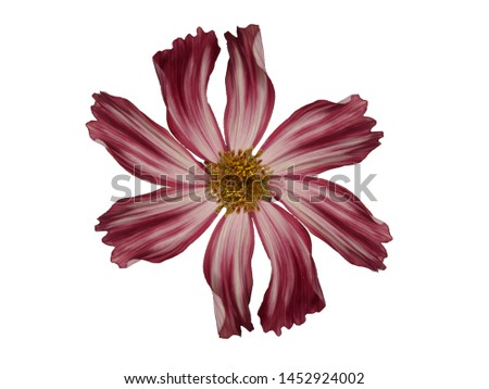 Cosmos bipinnatus Veloutte, Cosmos flowers Cosmos flowers Isolated on white background