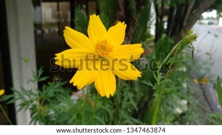 Cosmos Caudatus, Flowers Keningkir. Family of Asteraceae