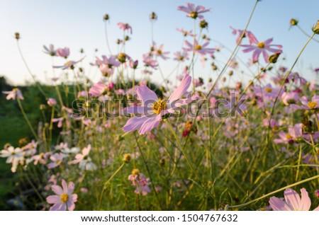 Cosmos (Cosmos bipinnatus) in the summertime