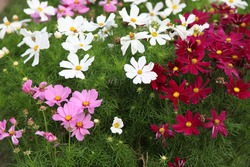 Cosmos (cosmos bipinnatus, mexican aster) flowers blooming in the garden. Pink, white and red garden cosmos flowers