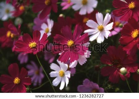 Cosmos (Cosmos flowers)