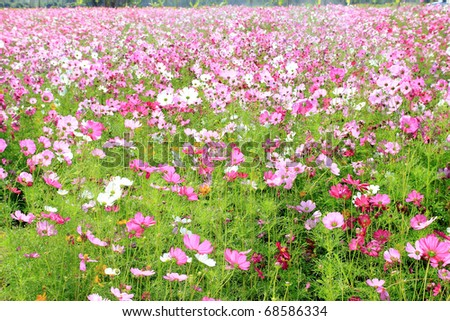 cosmos field - stock photo