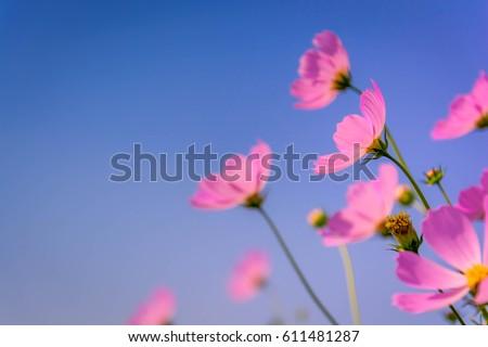 Cosmos flower #611481287