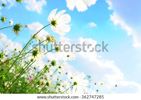 Stock Photo Cosmos flower and the sky