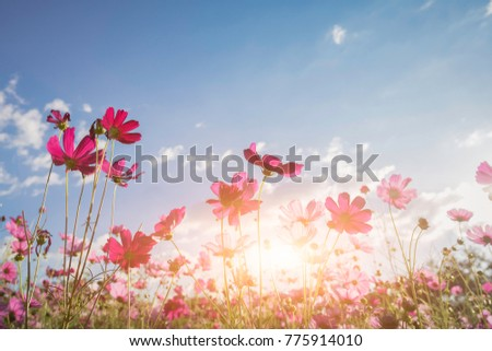 cosmos flower blooming in the field under sunshine #775914010