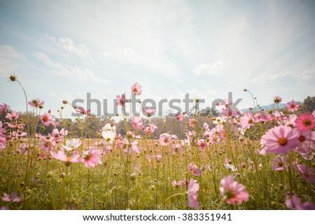 Cosmos flower blossom in garden #383351941