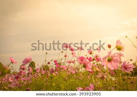 Cosmos flower blossom in garden #393923905