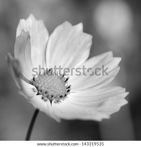 cosmos flower close up view
