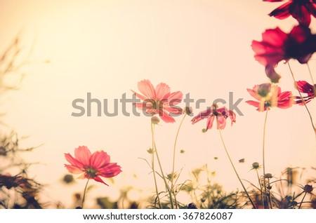 Shutterstock cosmos flower,Comos spp,Compositae , color process vintage process