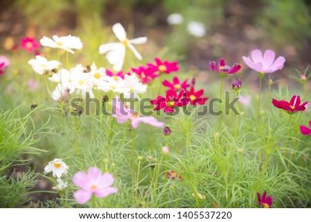 Cosmos flower , Cosmos background , flower background
