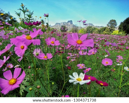 cosmos flower (Cosmos Bipinnatus)Fields beautiful ,Purple, pink, red, flowers in the garden with blue sky and clouds background soft focus. - Image