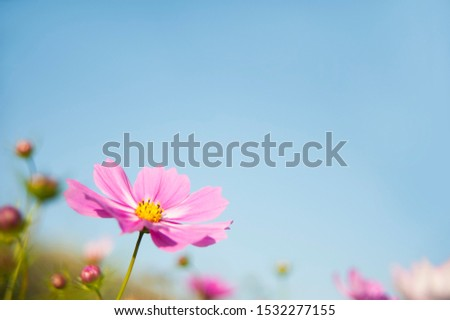 Cosmos flower (Cosmos Bipinnatus) with blue sky Background (Selective Focus)