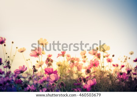 Cosmos flower (Cosmos Bipinnatus) with blurred background #460503679