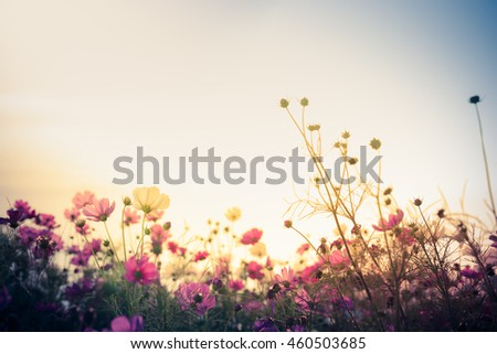 Cosmos flower (Cosmos Bipinnatus) with blurred background #460503685