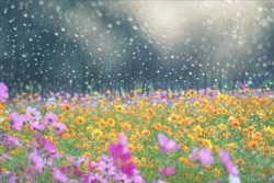 Cosmos flower field and drop Rain, Looking Through the Window Glass