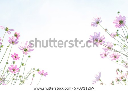 cosmos flower field, natural object, clipping with sky background #570911269