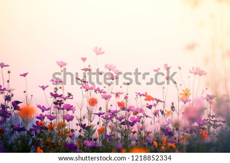 Cosmos flower in garden on vintage background. #1218852334