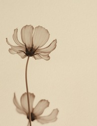 Cosmos flower in sepia tone on paper texture background, close up, vintage style.