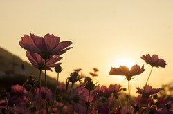 cosmos flower in the garden , cosmos on sunset , silhouette cosmos flowers