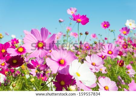cosmos flowers #159557834
