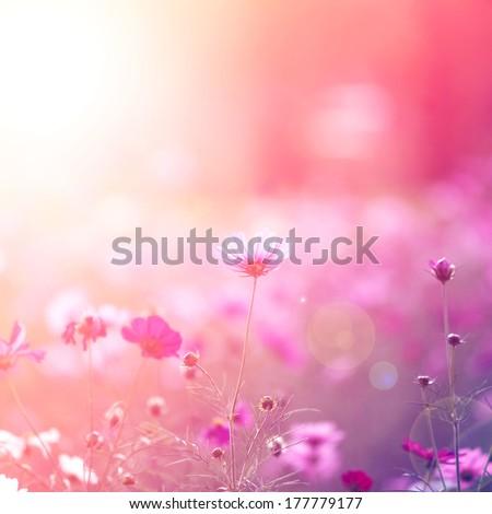 Cosmos flowers #177779177