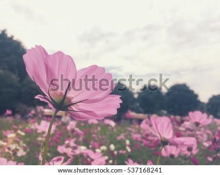 Cosmos flowers #537168241
