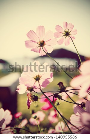 Cosmos flowers and blue sky (vintage tone)