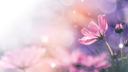Cosmos flowers and light bokeh in vintage tone background.