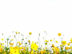 Cosmos flowers are bloom isolate on a white background.