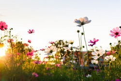 Cosmos flowers are blooming in sunset.