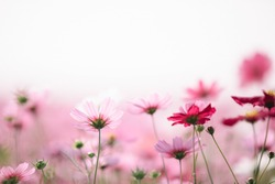 Cosmos flowers background in vintage style