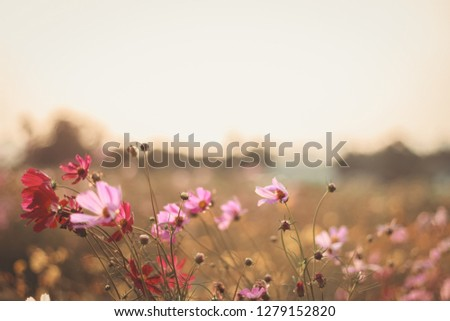 Cosmos flowers background in vintage style #1279152820