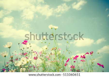 Cosmos flowers blooming in the garden #511060651