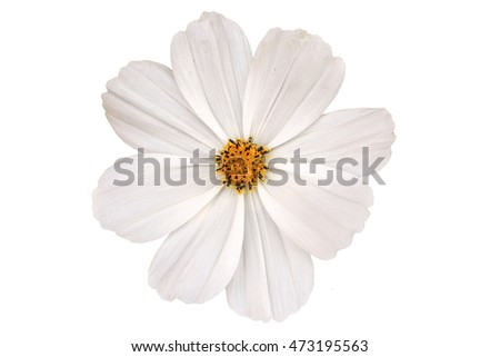 Cosmos flowers blooming on white background #473195563