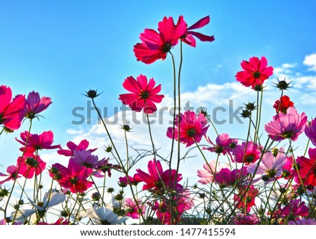 Cosmos flowers (Cosmos Bipinnatus) Lighted by the Late-afternoon Sun against the Blue Sky with White Clouds