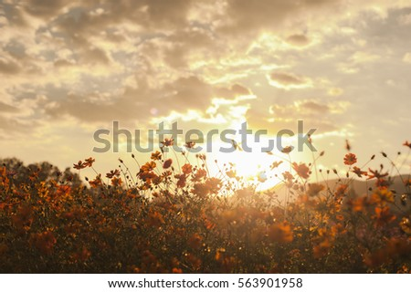 cosmos Flowers field with sunset