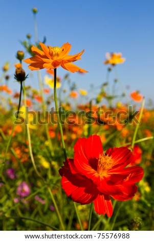 Cosmos flowers garden and blue sky
