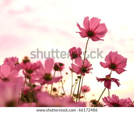 Cosmos flowers in blooming with sunset #66172486