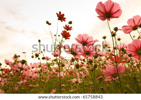 cosmos flowers in sunset #65758843