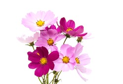 Cosmos flowers isolated on a white background