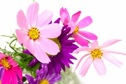 Cosmos, flowers on a white background