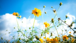 cosmos flowers on beautiful blue sky background.colorful flora blooming on cloudy day.soft focus.