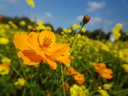 Cosmos flowers on blue sky flowers have many color for instance yellow, orange, white, pink, red, deep pink . A center have pollen is yellows color. Stalk have green colors.