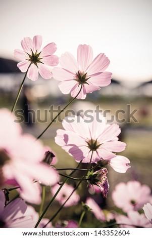 Cosmos flowers (vintage tone)