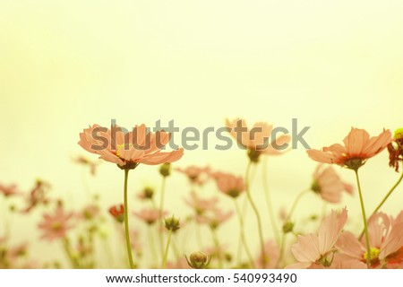 Cosmos flowers,vintage tone.