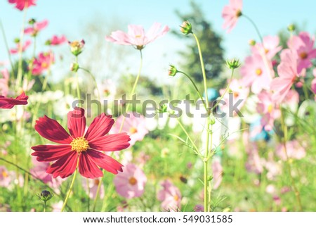 Cosmos flowers with soft natural background concept, fresh and beautiful thing on earth.