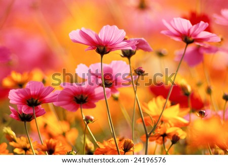 Cosmos Garden - stock photo
